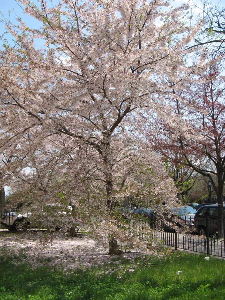 cherry blossom outside Chovevei Torah