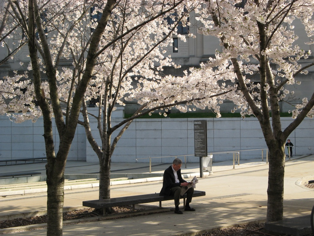 Man reading newspaper under the white cherry trees outside Brooklyn Museum of Art on Eastern Parkway